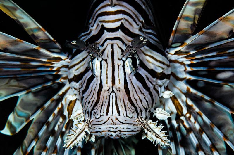 Lion fish portrait