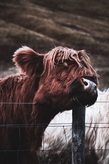 Highland cattle standing by fence at farm