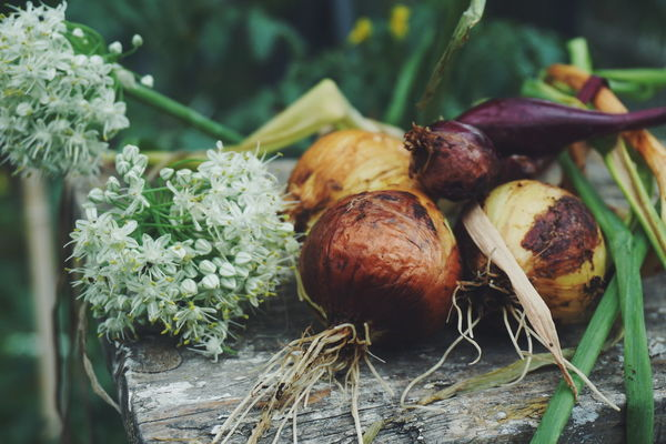 fresh onions and onions flowers Food And Drink Food Vegetable Healthy Eating Freshness No People Nature Day Outdoors Close-up Harvesting Fresh Agriculture Freshness Diversity Onions Onion Red Onion Vegetables Onion Flower Nature Plant Harvest