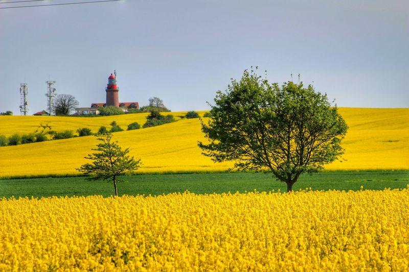 Oilseed rape field against clear sky on sunny day