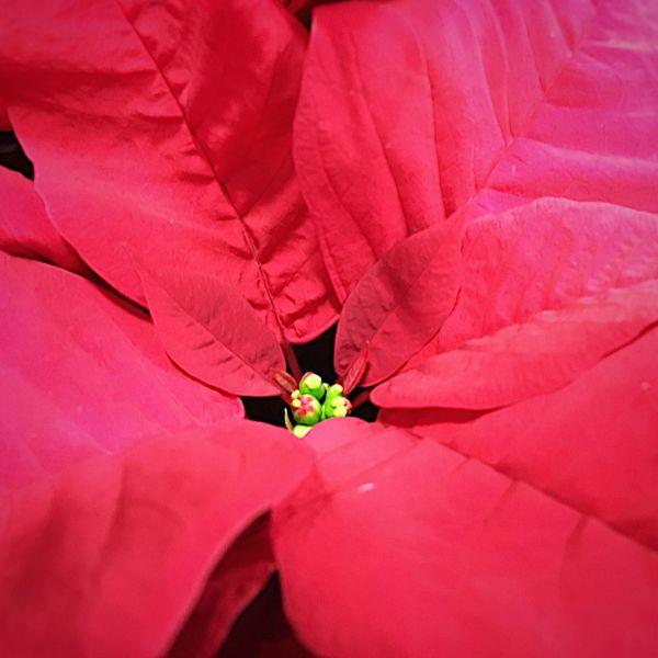 Poinsettia... Flower Photography EyeEm Flower Flowers,Plants & Garden Poinsettias Red Leaves Star Flower Christmas Plant