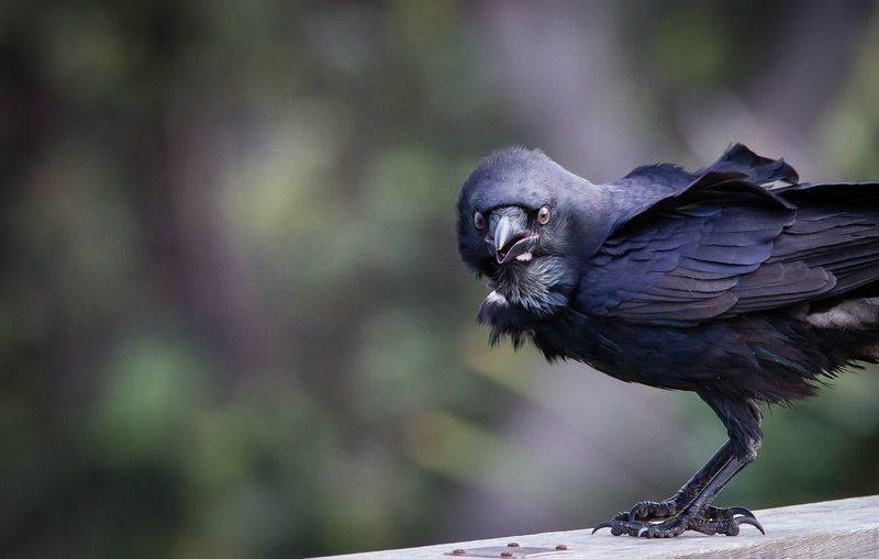 Crows are so sinister Nature Birds Crow Tamron Lens Canon Bird Photography Sinister♡ Black