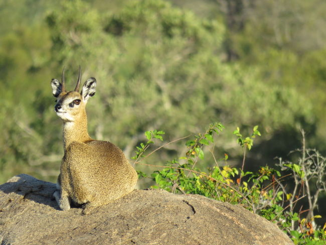 Animal Themes Animals In The Wild Beauty In Nature Day Field Focus On Foreground Green Green Color Growth Kruger Park Mammal Nature No People Non-urban Scene One Animal Outdoors Steenbok Steenbuck Tranquility Wildlife Zoo Zoology