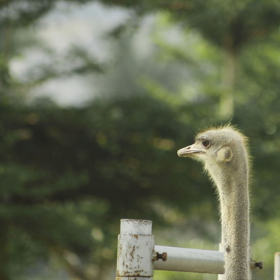 Heads up Ostrich Ostrich Farm Bird Birds Confined Space Picket Fence Guarding Exclusion Alertness Animal Eye Wooden Post