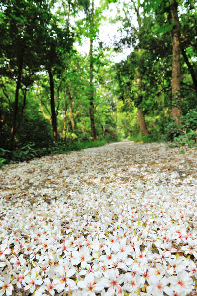 Quiet forest, floating under the white tung flowers, covered with country roads. Country Road Falling Natural Beauty In Nature Day Falling Flowers Flower Flower Head Forest Fragility Fresh Freshness Growth Large Group Of Objects Nature No People Outdoors Peaceful Petal Plant Plant Flowers Tranquility Tree Tung Blossom White Flowers