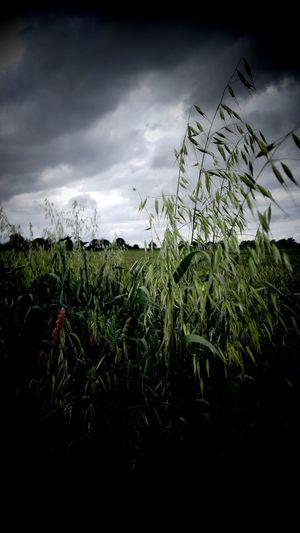 Agriculture Cereal Plant Crop  Cloud - Sky Field Growth Storm Cloud Landscape Nature Rural Scene No People Outdoors Sky Day Thunderstorm Abendspaziergang Strassen Und Wege Spazieren Und Fotografieren Spaziergang EyeEm Gallery Freshness Eyeem Market