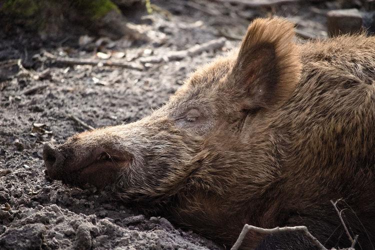 Close-up of wild boar sleeping on field