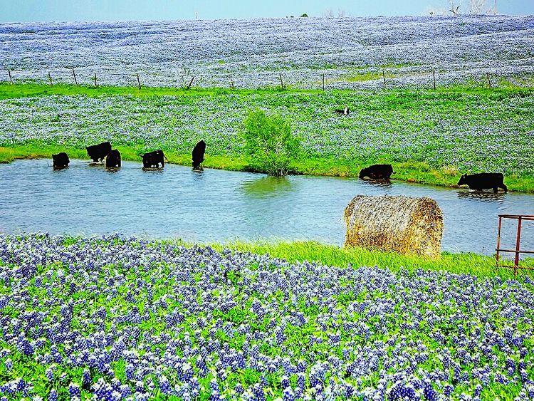 Cows and Bluebonnets Cows Water Tank Bluebonnets Wildflowers Fields Flowers Blue Hay Bale Ennis Ennis, Texas Texas Spring Flowers Spring Springtime Spring Landscape Landscape EyeEm Best Edits Tadaa Community