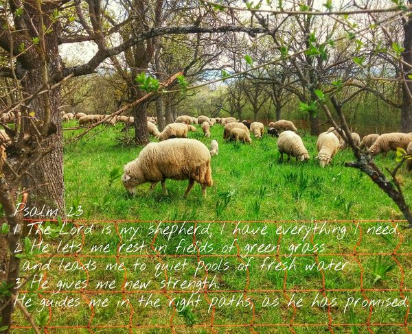 Psalm23 Psalm Spring Into Spring Bible OpenEdit Sheep Landscape_photography Sheppard Relaxing Guidance