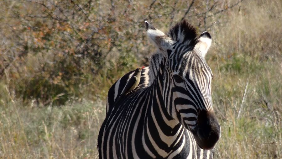 Black and white stripes. Animals In The Wild Animal Wildlife One Animal Zebra Striped Animal Themes Safari Animals Day No People Grass Outdoors Mammal Nature Close-up