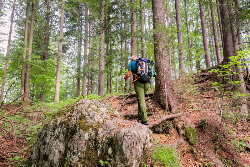 Hiker with backpack and hiking sticks walks on the forest path. Healthy lifestile. Forest Tree Land Activity Leisure Activity One Person Backpack Plant WoodLand Adventure Full Length Hiking Nature Travel Day Sport Exploration Trunk Walking Outdoors