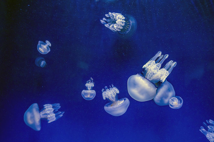 Captive jellyfish in the foreground underwater Underwater Sea Animal Wildlife Animal Themes Swimming Animals In The Wild Water Animal Group Of Animals Jellyfish Sea Life Marine Invertebrate Blue UnderSea Nature No People Transparent Smooth Outdoors Floating On Water Blue Background