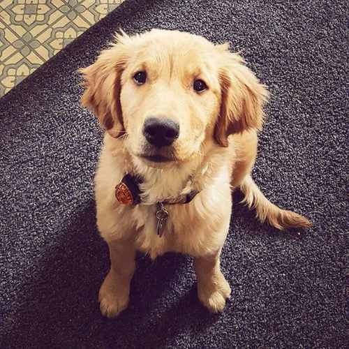Goldenretriever Goldenretrieversofinstagram Puppy Love Simple Dog Simple Dog Picture Dog Lover Dogs Are Family Dogslife Dogs Are Humans Best Friends Bigblacknose