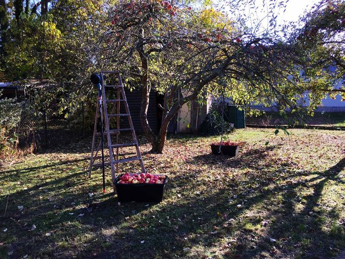 Picking apples Gardening Garden Picking Apples Apple Tree Apples Plant Nature Sunlight Tree Day No People Outdoors