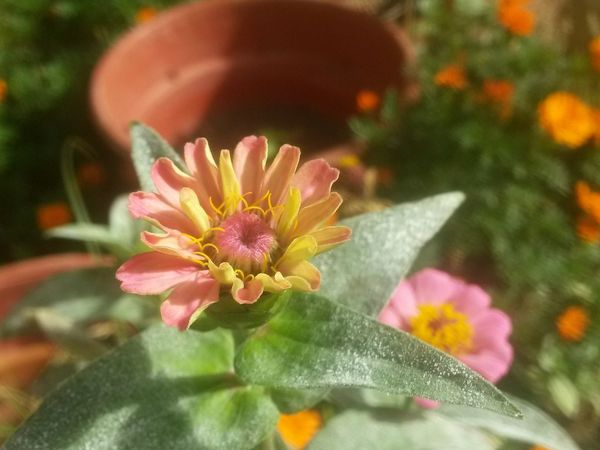 Flowers In My Garden Flower Collection Nature Flowerlovers Zinias Single Flower Beutiful Day Pollen Multi Color Flowers