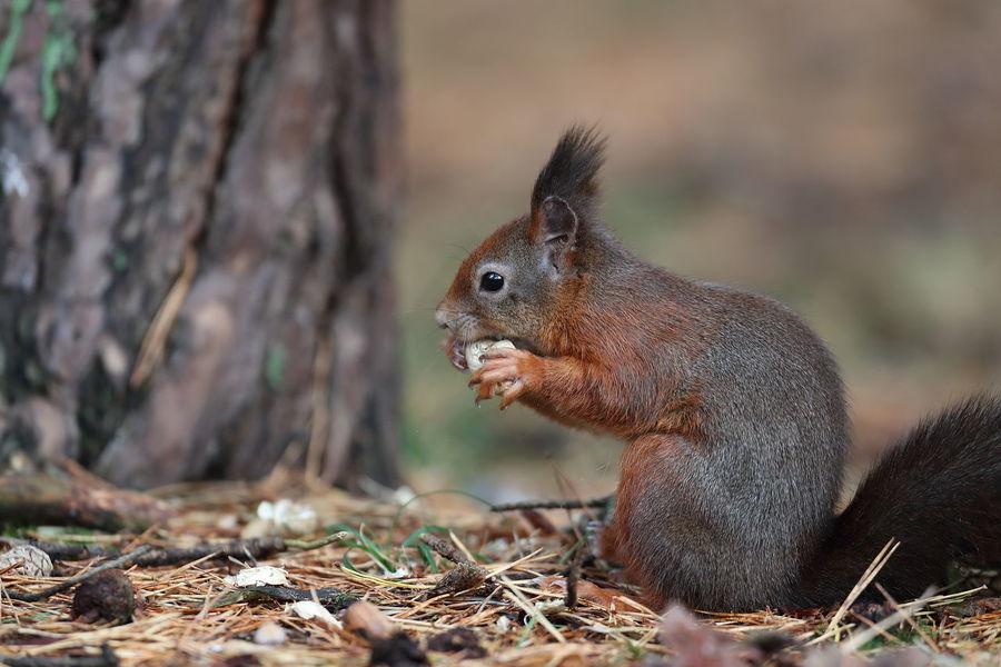 Redsquirrel Squirrel Nature Nature_collection Nature Photography Wildlife & Nature Wildlife Photography Wild