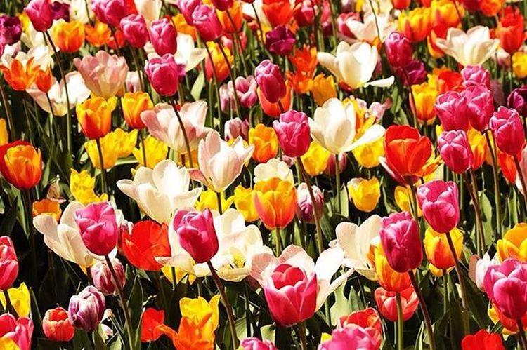 Life in technicolor Primavera Tulips Spring Tulipani Pralormo Messertulipano Messertulipano2016 Life Colors Fermatato Torinocentro Torino Torinoélamiacittá Torinoècasamia Torinodigitale Volgopiemonte Volgo Volgoitalia Igerstorino Igerspiemonte Igersitalia Vscoitaly Vivotorino Ig_turin Ig_turin_bw cittaditorino to