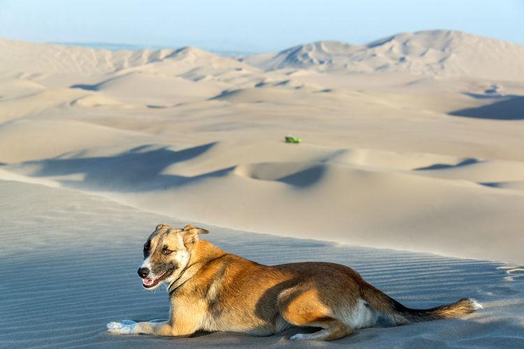 Dog on sand dune in desert