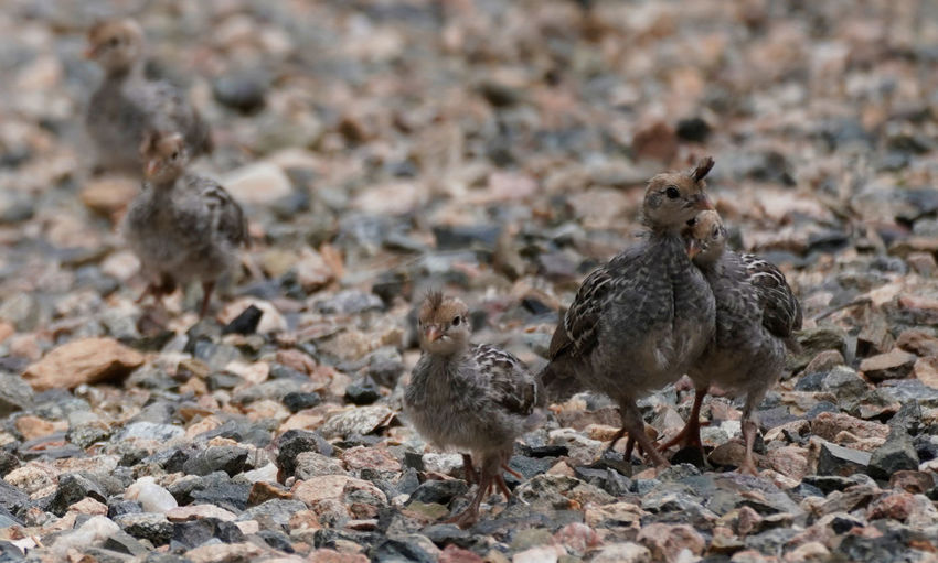 Close-up of quails on rock