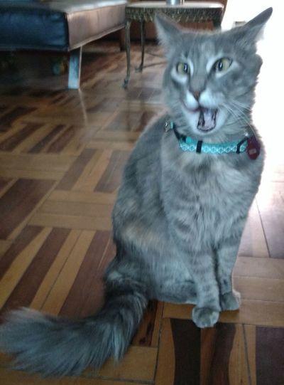 Domestic Cat Feline Looking At Camera Miauuu 😺