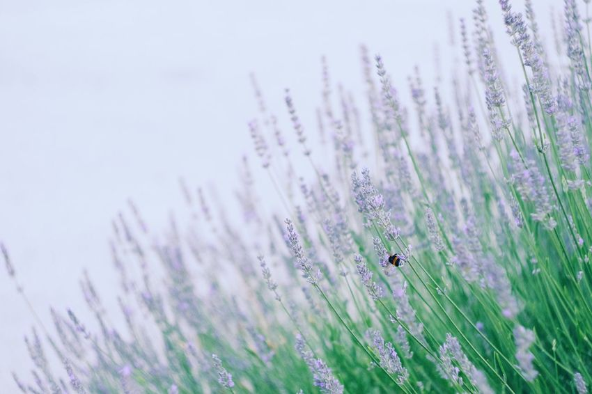 Flower Purple Insect One Animal Lavender Nature Animal Themes No People Beauty In Nature Fragility Close-up Growth Plant Freshness Day Animals In The Wild Outdoors Grass Flower Head Fujifilm_xseries