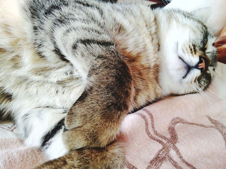 Afterlunch nap :) Mycat♥ Catsagram Catnap Sleepy Kitty Loveanimals
