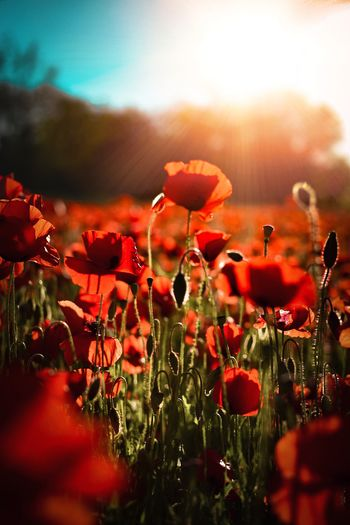Close-up of poppy blooming on field during sunset