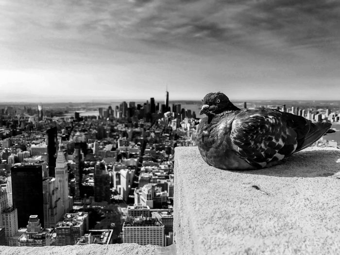 Catch the Pigeon - B&W Skyscraper Pigeon Bird  Pigeon New York Skyline Empire State Building New York Sky Line New York City New York Skyline Architecture Built Structure Building Exterior City Sky Cloud - Sky Cityscape Building Day