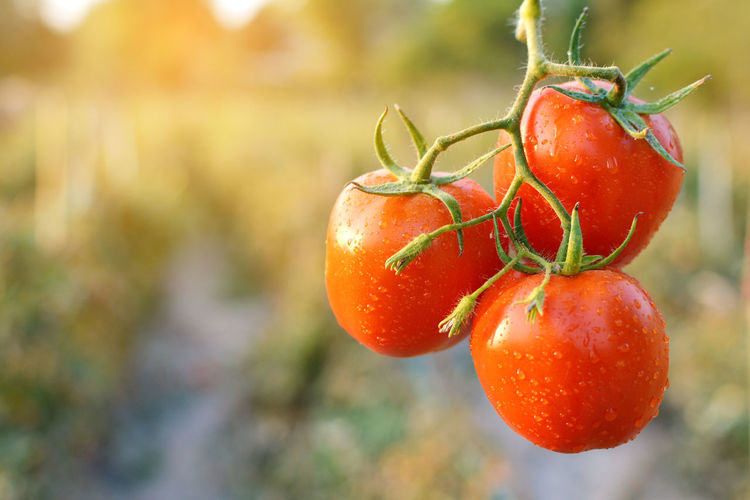 Close-up of wet red tomatoes growing at farm