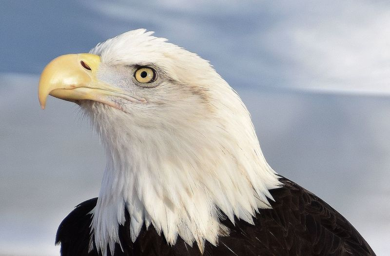 Bird Animal Themes Animal Wildlife Eagle Expressive Black And White Grumpy Bird Feathers Of Eagle Yellow Beak Eagles Head Yellow Eye Bird Of Prey Birds Of Colorado King Of The Birds Hooked Beak Apex Predator Ice Cold Stare Symbol Of America Bald Eagle Portrait Strength Resurgence North American Birds
