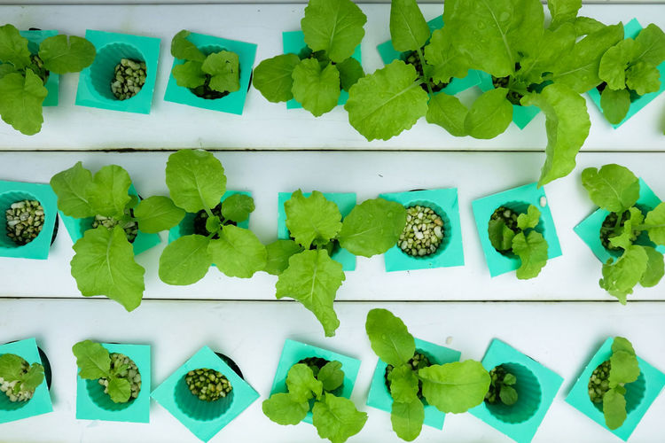 Hydroponic vegetable age 17-20 days plant with perlite move to vegetables rails top view Freshness Perlite Sapling Tray Agricultural Aquaponic Close-up Cultivation Farming Food Freshness Green Color Growth Hydroponic Hydroponic Vegetables Leaf Nature Plant Plantation Vegetable