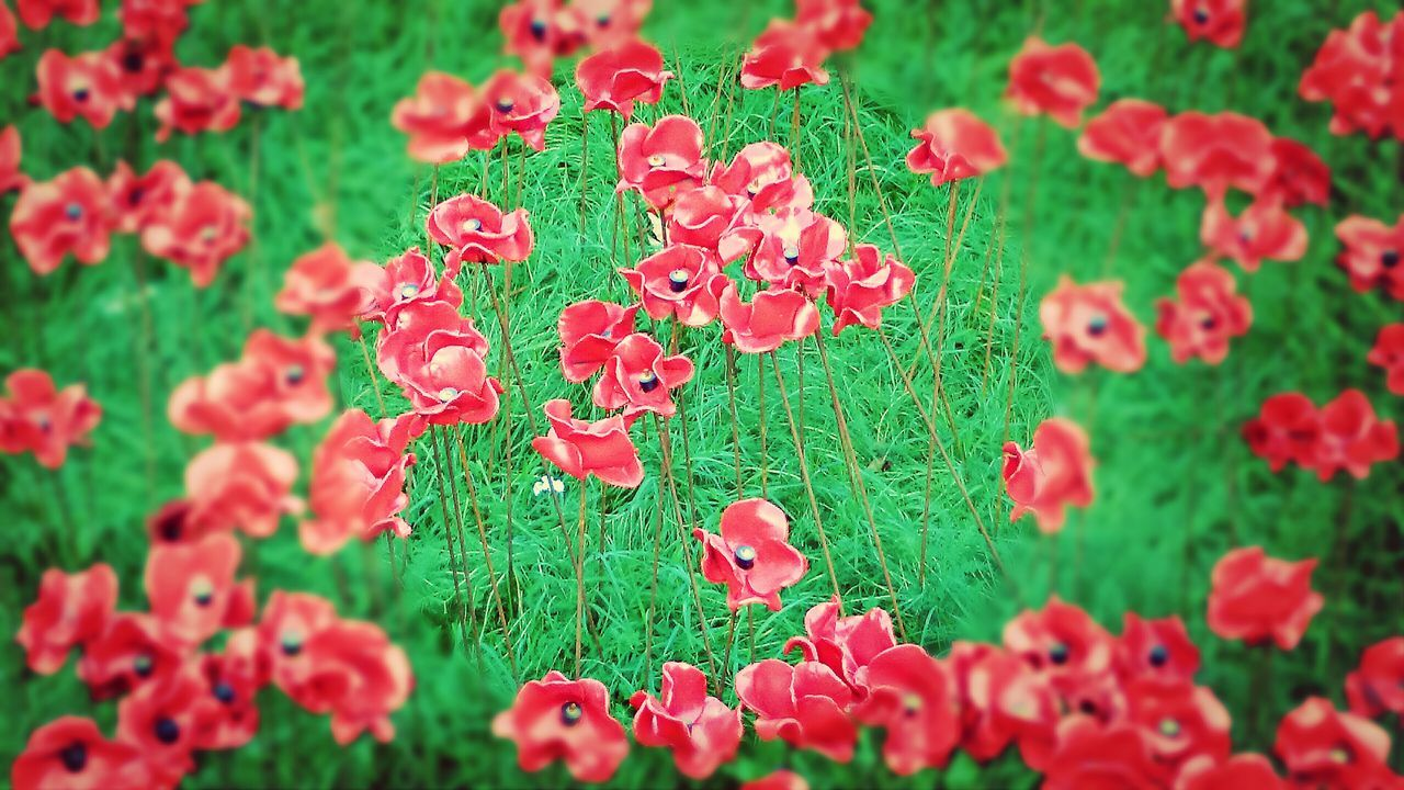growth, nature, plant, red, beauty in nature, flower, field, green color, fragility, petal, freshness, day, blooming, no people, grass, poppy, outdoors, flower head, close-up
