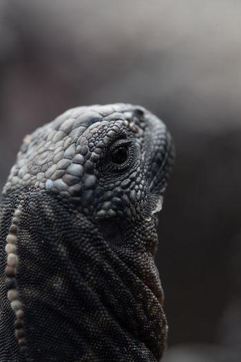 Close-up portrait of lizard