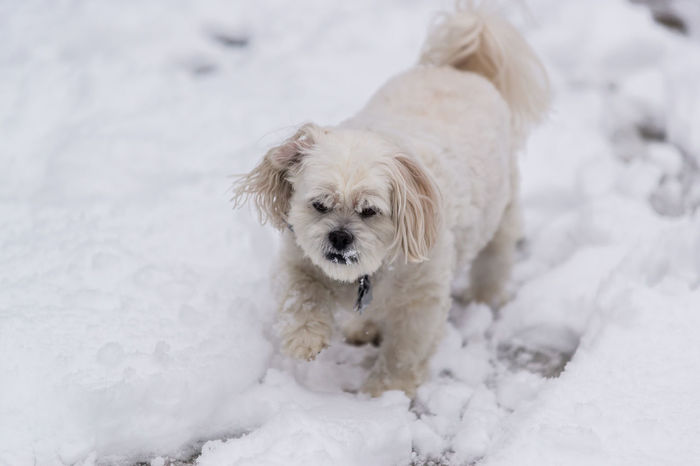 Lhasa Apso Animal Themes Cold Temperature Day Dog Domestic Animals Lhasa Looking At Camera Mammal Nature No People One Animal Outdoors Pets Portrait Snow West Highland White Terrier White Color Winter