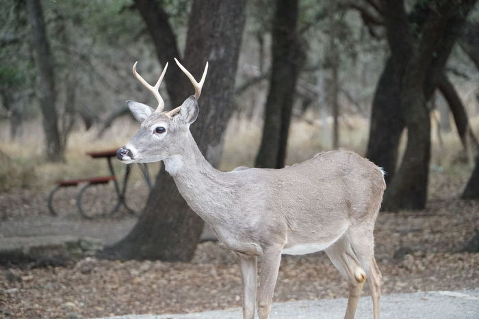 Animal Themes Animal Wildlife Animals In The Wild Antler Beauty In Nature Day Deer Fawn Forest Mammal Nature No People One Animal Outdoors Stag Tree Wildlife