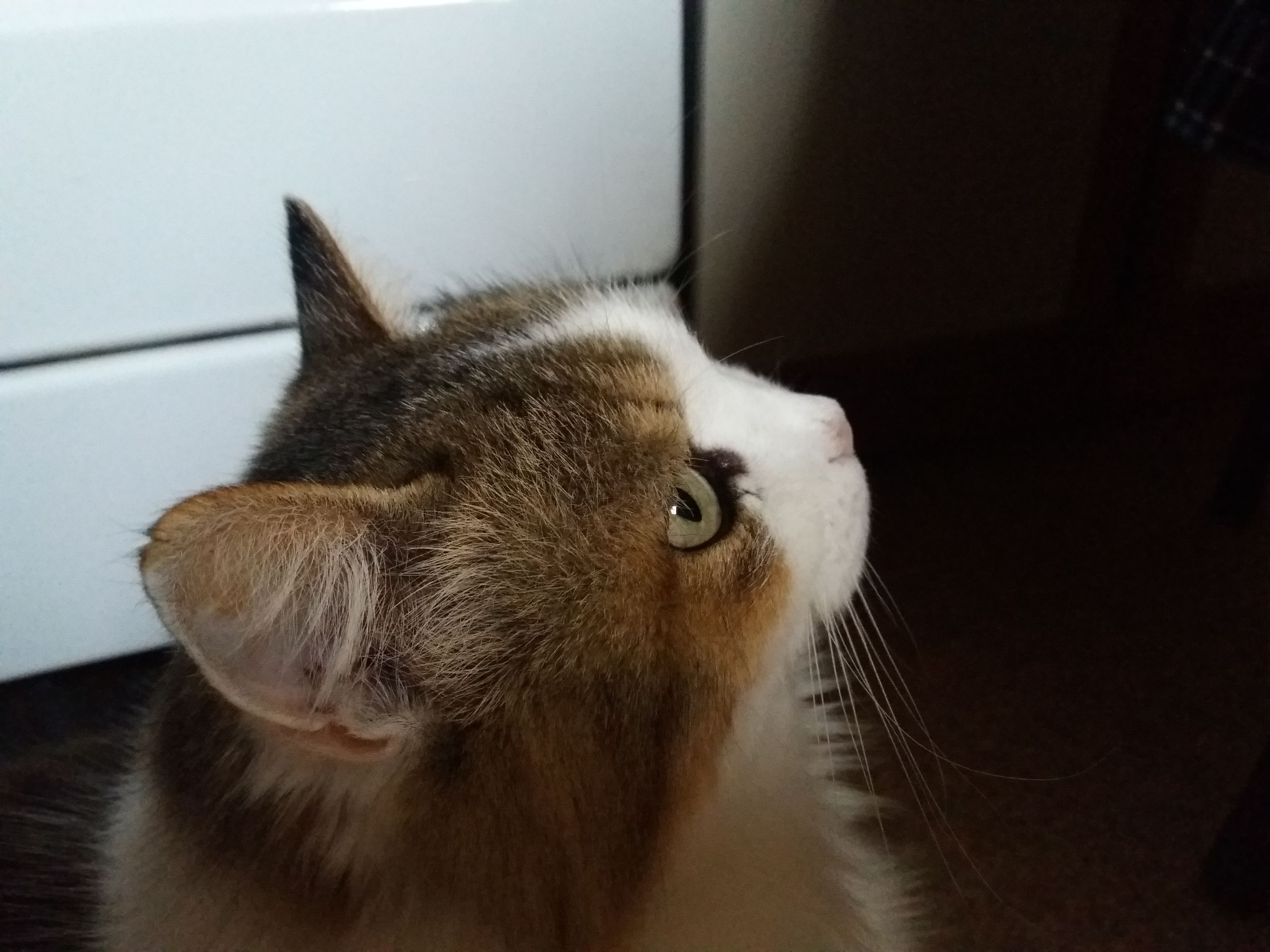 one animal, animal themes, indoors, domestic animals, pets, close-up, animal head, mammal, whisker, focus on foreground, curiosity, feline, domestic cat, no people, looking, herbivorous, animal nose, whiskers