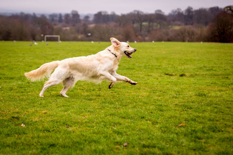 Side view of dog running on grassy field