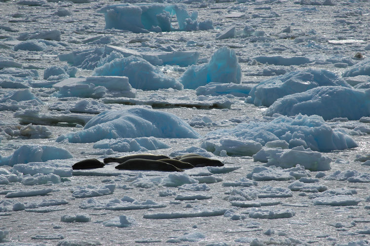 Day Cold Temperature Nature No People Winter Water Land Snow Beauty In Nature Sea Frozen Ice Tranquility Environment Outdoors Scenics - Nature Tranquil Scene Solid Iceberg Flowing Water Elephant Seals Antarctica Travel Travel Destinations
