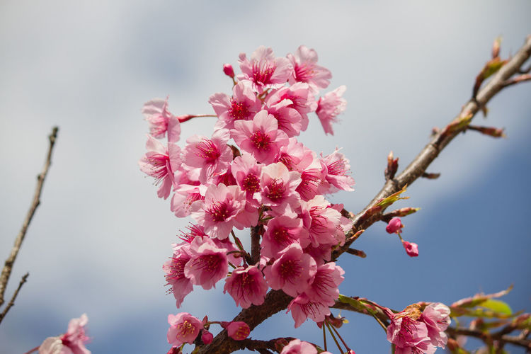 cherry blossom Flower Flowering Plant Pink Color Plant Fragility Freshness Vulnerability  Growth Beauty In Nature Close-up Blossom Petal Tree Nature Day Focus On Foreground No People Branch Springtime Flower Head Plum Blossom Outdoors Cherry Blossom Cherry Tree Bunch Of Flowers