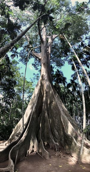 Giant Tree Tropicalrainforest Rainforest Tree Plant Growth Tree Trunk Nature Trunk Day Beauty In Nature Forest Plant Part
