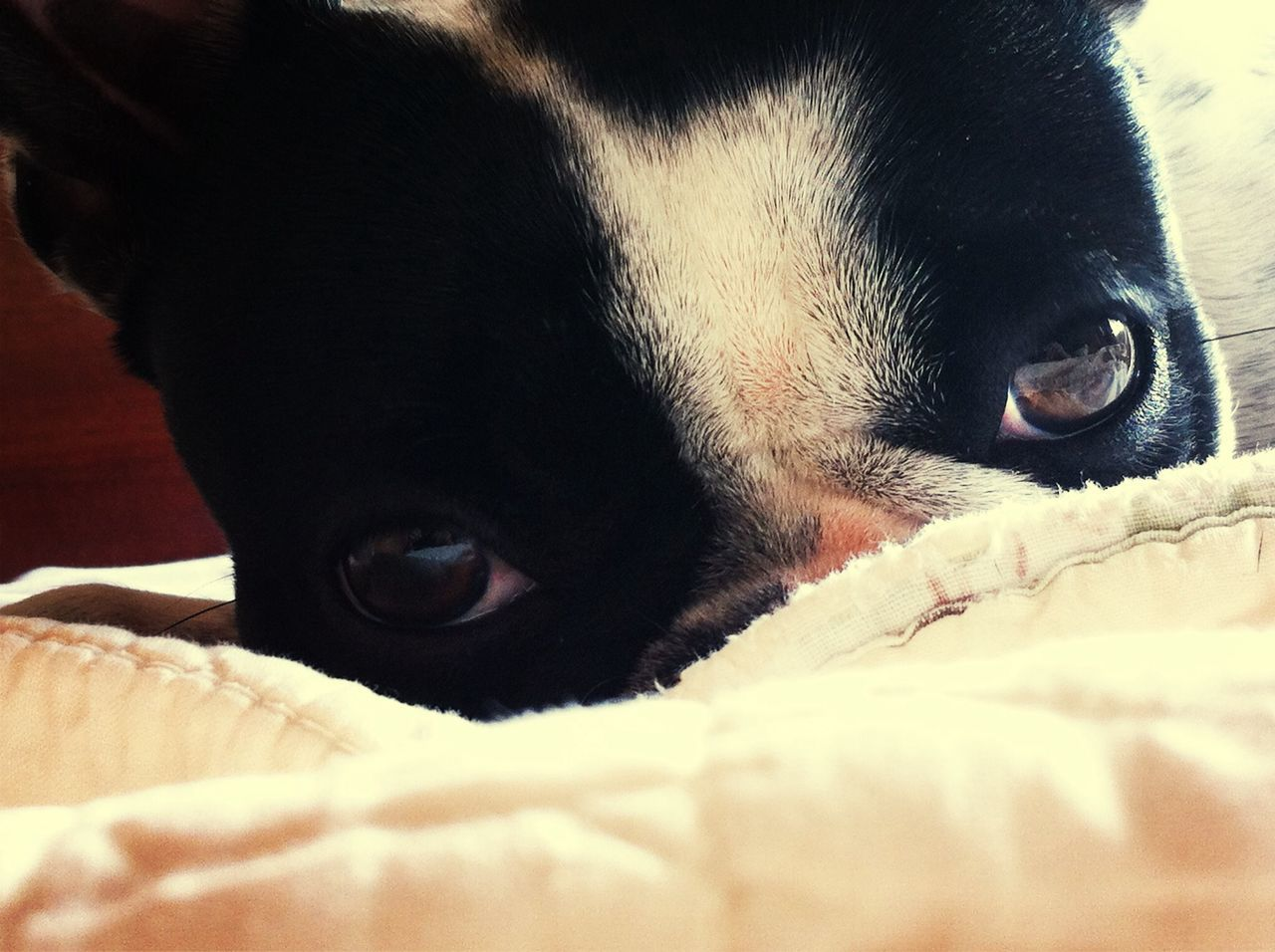 Close-Up Portrait Of Boston Terrier Relaxing On Bed