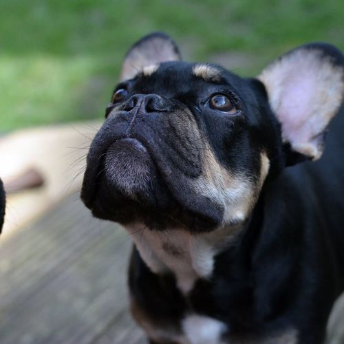 One Animal Pets Animal Themes Domestic Animals Dog Black Color Mammal Animal Head  Close-up Selective Focus Animal Zoology Snout Loyalty Focus On Foreground Front View Pampered Pets Animal Nose Animal No People Onlyf Fools And Frenchies