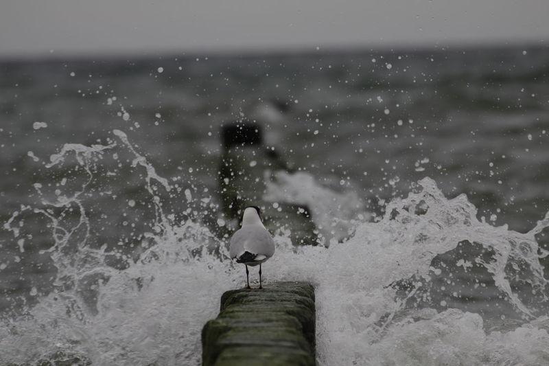 Bird Placid  Calm Splash Shore Water Splash Black Headed Gull Water Droplets Gull Nature Water Motion Sea Black-headed Gull Bravoure Stoic Stoicism