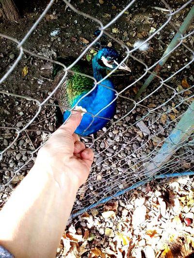 Hands At Work Feeding the Peacock... Transmedia Cinematic Aimiamos Storytelling Discover Romania Naturelovers Public Garden Romania Cismigiu Bucharest Birds