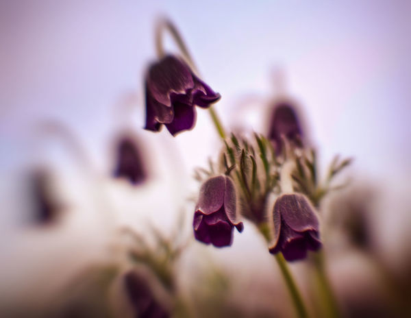 Beauty In Nature Close-up Flower Flowering Plant Nature No People Plant Protected Flowers Selective Focus Springtime