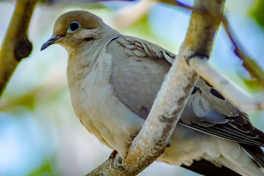 Mourning Dove EyeEm Selects Animal Animal Themes Bird Animal Wildlife Animals In The Wild Vertebrate One Animal Perching Focus On Foreground Branch Nature Tree Beauty In Nature Dove - Bird