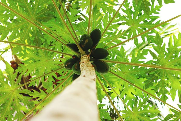 green papaya Leaf Nature Day Plant Outdoors Growth Close-up Beauty In Nature