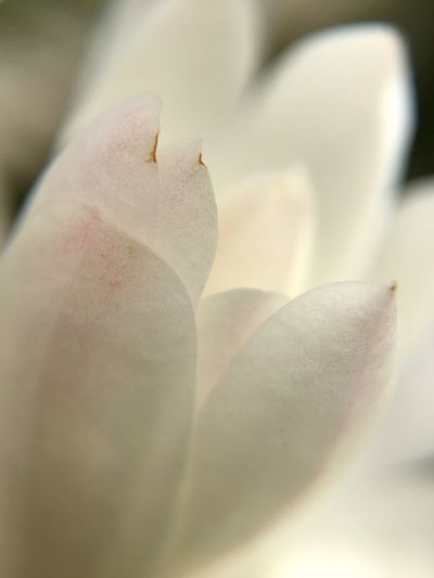 Magnolia Flower Petal Fragility Flower Head Nature Beauty In Nature Freshness Selective Focus No People Growth Plant Day Backgrounds Outdoors