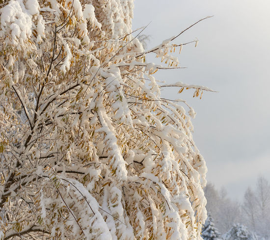 Autumn trees covered with a snow Autumn Branch Day Forest Frost Landscape Latvia Nature Nobody Northern Europe November Outdoors Riga Latvia Scenery Snow Snowbanks Snowdrifts Snowy Sunlight Trees Twig Weather Winter Wintertime Yellow Leaves