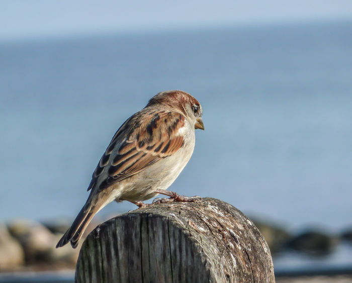 Bird One Animal Animal Vertebrate Animal Wildlife Animal Themes Animals In The Wild Focus On Foreground No People Bird Of Prey Nature Sparrow Wood - Material Perching Day Close-up Outdoors Full Length Brown Sunlight Wooden Post